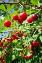 Red sour or tart cherries growing on a cherry tree. Royalty Free Stock Photo