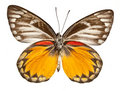 Red Spot Jezebel Butterfly Royalty Free Stock Images