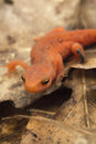 Red Spotted Newt Royalty Free Stock Photo
