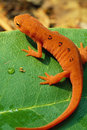 Red Spotted Newt Portrait Royalty Free Stock Photography