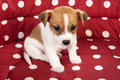 Red spotted pet bed little jack russel puppy Royalty Free Stock Photography