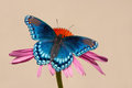 Red-spotted Purple Admiral butterfly on Coneflower Royalty Free Stock Photography