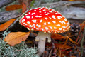 Red spotted toadstool in the forest Royalty Free Stock Photo