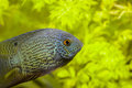 Red spotted turquoise severum picture of a south american cichlid known as the Stock Images