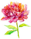 Red spring flower watercolor illustration peony Stock Images