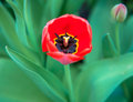 Red spring tulip with bud in may Stock Image