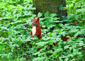 Red squirrel Stock Images