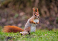 Red squirrel in Bavaria Stock Images