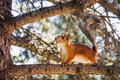 Red squirrel on a branch Royalty Free Stock Photo