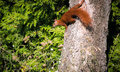 Red squirrel on the branch Royalty Free Stock Photo