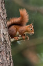Red squirrel on a branch in a tree Royalty Free Stock Images