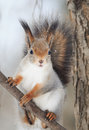 Red squirrel with a bushy tail sits on tree and eats nuts in the snow Royalty Free Stock Photo