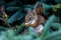 Red squirrel from campobello island canada Stock Images