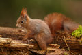 Red squirrel climbing on rotten forest floor sciurus vulgaris over woodland Stock Image