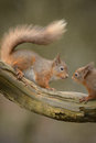 Red squirrel confrontation over the right to feed between two squirrels Royalty Free Stock Image