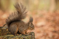 Red squirrel crouching pausing for thought on old tree stump Stock Photo