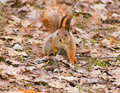Red squirrel in early spring park sciurus vulgaris searching for a nut leaf litter Stock Photos