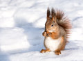 Red squirrel eat nut on snow eating Royalty Free Stock Image