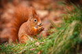 Red squirrel eating an acorn in the grass Stock Images