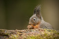 Red squirrel eating fallen seeds Stock Photo