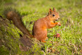 Red squirrel eating hazelnuts small cute in autumn park Royalty Free Stock Photos