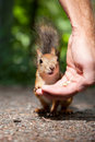 Red squirrel eating from human hand Stock Photos
