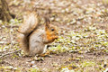 Red squirrel eating something in the park Royalty Free Stock Photo