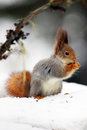The red squirrel or Eurasian red sguirrel Sciurus vulgaris sit Royalty Free Stock Photo