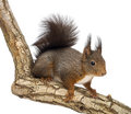 Red squirrel or eurasian red squirrel sciurus vulgaris standing on a branch isolated on white Royalty Free Stock Photography