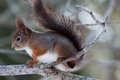 Red squirrel european in tree Stock Photography