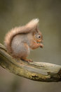 Red squirrel a feeding on a hazel nut in early morning with its tail arched over its back Royalty Free Stock Image