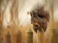 Red squirrel on the fence getting a higher view from a tall Royalty Free Stock Photos