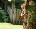 Red squirrel foraging Royalty Free Stock Photography