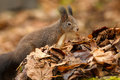 Red squirrel foraging in dead leaves a city park Stock Photos