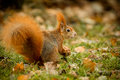 Red squirrel foraging holding a hazelnut Stock Photo