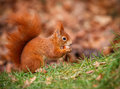 Red squirrel foraging hunting for hazel nuts in the grass Stock Photography