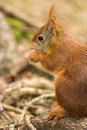 Red Squirrel In Formby Nature ...