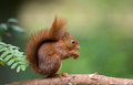 Red squirrel in the forrest Stock Images