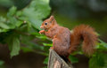 Red squirrel in the forrest Royalty Free Stock Photography