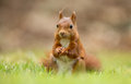 Red squirrel in the forrest Stock Image