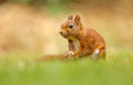 Red squirrel in the forrest Royalty Free Stock Images