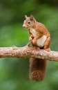 Red squirrel in the forrest Royalty Free Stock Photo