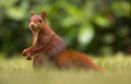 Red squirrel in the forrest Royalty Free Stock Image