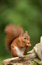 Red squirrel in the forrest Stock Photo