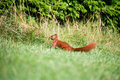 Red squirrel in the garden. Royalty Free Stock Photo