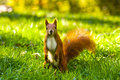 Red squirrel on the grass Royalty Free Stock Image