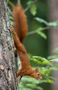 Red squirrel hanging on a tree Royalty Free Stock Photo