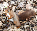 Red squirrel holding fists full of seeds.