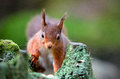 Red Squirrel looking ahead with tufted ears Royalty Free Stock Photo