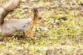 Red squirrel looking for food. Alarmed forest squirrel which see a danger Royalty Free Stock Photo
